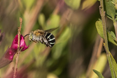 blue banded bee (blue bum) (crispiks) Tags: blue bum banded bee nector pollen bees garden summer flowers nikon d500 300mm f4 its bugs life