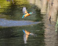 Kingfisher (shinichiro*@Hokkaido-until0217) Tags: 町田市 東京都 日本 20200110ds20891 2020 crazyshin nikonz6 z6 ftz sigma150600mmf563dgoshsmcontemporary january winter tokyo japan jp 薬師池公園 bird birds sspriority isoauto wmonopod 49481525297 9703526 202002esp