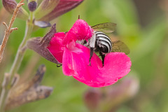 blue banded bee (bottoms up ) (crispiks) Tags: blue bum banded bee nector pollen bees garden summer flowers nikon d500 300mm f4 its bugs life
