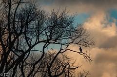 De eenzame/The lonely one (truus1949) Tags: wandelen natuur vogels lucht bomen winter