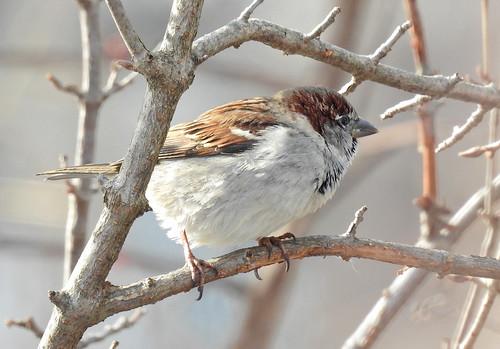 House Sparrow - Mendon Ponds Park - © Candace Giles - Jan 24, 2020