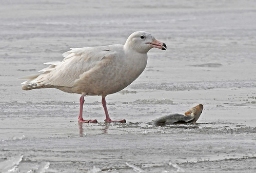 Glaucous Gull - Braddock Bay East Spit - © Dick Horsey - Jan 30, 2020