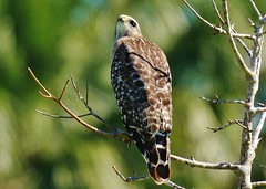Red-shouldered Hawk Looking Up (Buteo lineatus)
