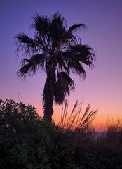 Morning light (Vest der ute) Tags: xt2 palmtrees sky grass foliage fav25