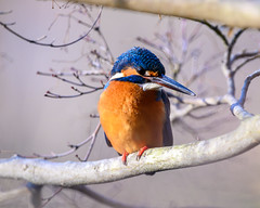 Kingfisher (shinichiro*@Hokkaido-until0217) Tags: 町田市 東京都 日本 20200130ds25793 2020 crazyshin nikonz6 z6 ftz sigma150600mmf563dgoshsmcontemporary winter january tokyo japan jp 薬師池公園 bird birds sspriority isoauto 49482201366 9703526 202002esp