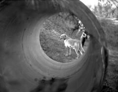 Tunnel Vision (PositiveAboutNegatives) Tags: leica rangefinder m2 35mm cv35mmf14noktoniimc cosinal voigtlander film analog bw blackandwhitefilm foma fomapan fomapan100 hc110 vuescan dog lab labrador yellowlab voightlander35mmf14noktoniimc leicam2