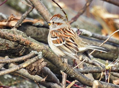 American Tree Sparrow - Mendon Ponds Park - © Candace Giles - Jan 24, 2020