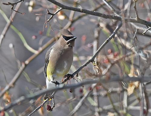 Cedar Waxwing - Whiting Road Nature Preserve - © Dick Horsey - Jan 24, 2020