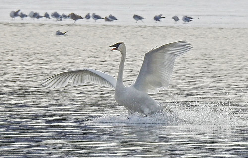 Trumpeter Swan - Irondequoit Bay Outlet - © Candace Giles - Jan 30, 2020