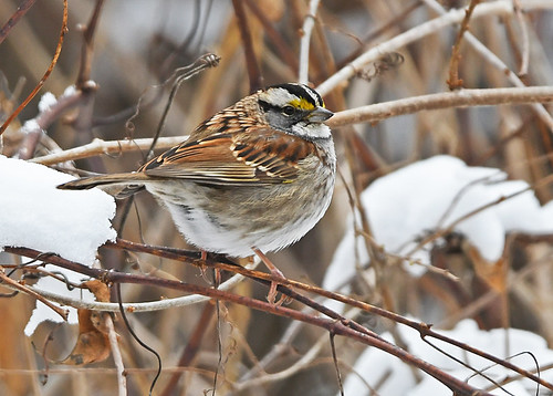 White-throated Sparrow - Mendon Ponds Park - © Dick Horsey - Jan 31, 2020