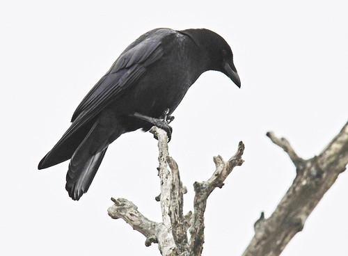 American Crow - Mendon Ponds Park - © Dick Horsey - Jan 31, 2020