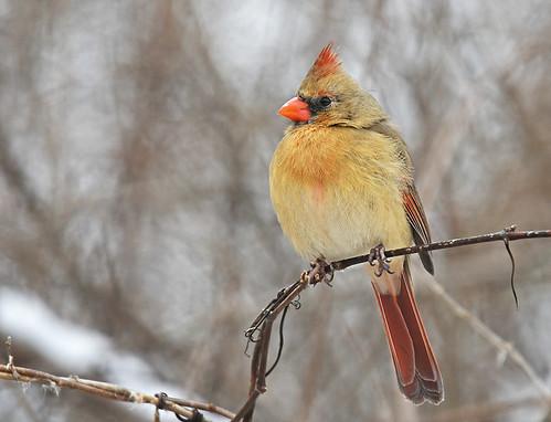 Northern Cardinal (F) - Mendon Ponds Park - © Dick Horsey - Jan 31, 2020