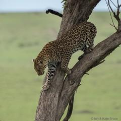 Leopard on the Mara (Ian.Kate.Bruce's Wildlife) Tags: leopard pantherapardus felidae bigcats wildlife nature ianbruce katebruce masaimara kenya africa