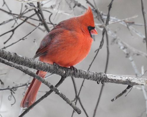 Northern Cardinal - Mendon Ponds Park - © Candace Giles - Jan 24, 2020