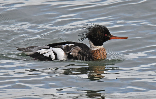 Red-breasted Merganser - Irondequoit Bay Outlet - © Dick Horsey - Jan 24, 2020
