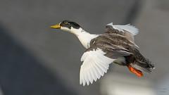 Mallard (Hybrid)  8063 (Paul McGoveran) Tags: bif bird birdinflight duck lakeerie mallard nature nikon500mmf4 nikond850 norfolkcounty ontario portdover wings