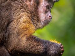 Monkey Smarts (helenehoffman) Tags: amazonbasin amazon onmnivore conservationstatusleastconcern brownmonkey sandiegozoo nature pinmonkey blackcappedmonkey tuftedcapuchin monkey southamerica newworldmonkey cebusapellaapella animal