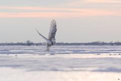 ''La ballerine!'' Harfang des neiges-Snowy owl (pascaleforest) Tags: oiseau bird animal owl passion nikon nature wild wildlife faune québec canada