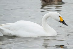 BEWICK'S SWAN (_jypictures) Tags: animalphotography animals animal animalplanet canon canon7d canonphotography canon7dphotography wildlife wildlifephotography wiltshire bewicksswan bewickswan bewick birdwatching birding birdingphotography bird birds birdphotography birders ukwildlife ukbirding ukbirds