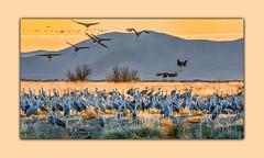 Sandhill Cranes at Sunset! (tvj21) Tags: sandhillcrane crane willcoxplayawildlifearea bird wildlife nikon sigma150600lens sunset arizona willcox