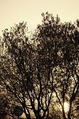 Siluetas (Joaquim F. P.) Tags: salou tarragona sony ilce 6300 a6300 alpha olivo sol atardecer sunset sun árbol yin yang yinyang luz sombra silueta centenario parque emprius