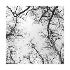 NG LXXII ([ Time - Beacon ] II) Tags: tb square branches twigs boughs trees sky monochrome blackandwhite blackwhite bnw bw