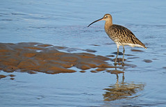 Curlew on the Run (Nigel B2010) Tags: curlew bird sea shore wildlife nature norfolk north