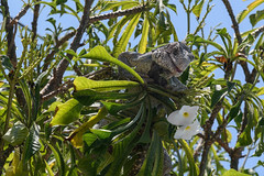 Green iguana in a plumeria pudica, Iguane commun dans un frangipanier pudique (JLS@Photos) Tags: frangipanierpudique amérique nordeste iguanecommun reptile brésil arbre animal america americaniguana bouquetdemariée brazil greeniguana iguanevert igunaiguana plumeriapudica tree