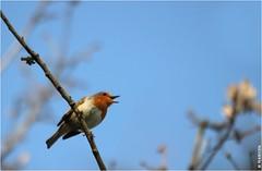 Rouge-gorge qui chante (boblecram) Tags: erithacus rubecula bird oiseau vogel rougegorge passereau nature wild sauvage occitanie birdwatching