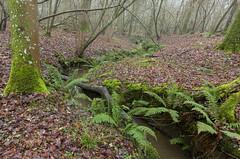 Line of ferns (Through Bri`s Lens) Tags: sussex canon5dmk3 canon1635f4 polariser brianspicer ferns stream leaf ashurst spithandlelane