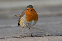 Grumpy (jillyspoon) Tags: robin robinredbreast bird birdphotography eye eyecontact stare grumpy sony sonya7iii feathers tame friendly dof depthoffield gardenbird