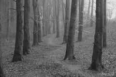 Sleepy Path (shawn~white) Tags: ©shawnwhite fujifilmxt2 calm beautiful beauty dreamy enchanting elegance harmonious magical moody nostalgia relaxing reminiscing reminisce serene serenity softlight vintage wonder ceredigion blackcovert westwales uk fujinonxf1655f28rlmwr grain filmlook bw blackandwhite woodland deciduous forest forestry tree trees wood woods beech