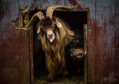 goat and pig (Jennifer MacNeill) Tags: goat horns barnyard barn animal animals lancaster pa farm pig potbelly
