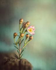 Flourish (Ro Cafe) Tags: macromondays nikkor105mmf28 sonya7iii theoddone macro flower bloom buds waxflowers dof selectivefocus natural light stilllife textured s well