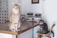 Interrogative mood (Modii) Tags: gatto gatti cat cats pussycat catlike animali pet pets feline felino felini gattorosso gattotigrato redcat brindlecat
