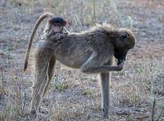 Taxi Mom! (jaffles) Tags: southafrika südafrika krügernationalpark kruger np natur nature wildlife safari olympus holiday knp