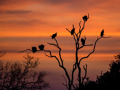 Beautiful sunset with vultures on a tree (jaffles) Tags: southafrika südafrika krügernationalpark kruger np natur nature wildlife safari olympus holiday knp