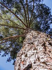 Towering 03 (davidseibold) Tags: america california morrobaystatepark sanluisobispocounty usa unitedstates jfflickr photosbydavid plant postedonflickr sky tree morrobay unitedstatesofamerica
