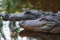 American alligators. West lake , everglades wetlands , Florida.  #alligator #reptile #florida #nature #wildlife #wild #life #sonyrx10iv #grey #brown #water #coldblooded #love #animal #scary #photography #art #vision #light #creative #sun #photo #photoofth (Caracalla9) Tags: love photooftheday alligator florida naturephotography reptile sun life sonyrx10iv travelphotography photographer scary wildlife art nature photo brown water coldblooded creative grey vision light animal wild photography