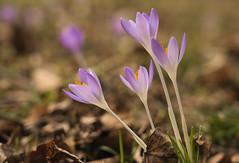 Leichte Farbe (KaAuenwasser) Tags: krokusse krokus farbe farben leicht zart licht schatten blume blumen pflanze blüte jahreszeit 2020 februar wiese schlossgarten ort platz stelle karlsruhe nah