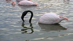 Pink and black flamingo (Kaïyah) Tags: pink flamingo phoenicopterus black mud swamp water camargue natural parc reserve feeding behaviour conservation endangered protected