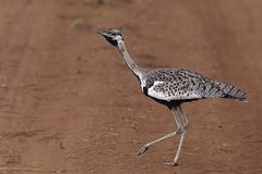 Kamikaze bird (timopfahl) Tags: kamikaze bird kamikazebird southafrica tydonbushcamp tydon bush camp safari kruger sabisands vogel korhaan