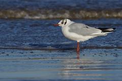 K32P9992c Black-headed Gull, Titchwell, January2019 (bobchappell55) Tags: chroicocephalusridibundus norfolk titchwell beach bird blackheaded gull nature wild wildlife
