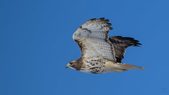 Red-tailed Hawk  8284 (Paul McGoveran) Tags: bif bird birdinflight nature nikon500mmf4 nikond850 norfolkcounty raptor redtailedhawk wings