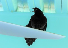 Great-Tailed Grackle on a Ceiling Fan (Ruby 2417) Tags: grackle bird wildlife nature fan celiling blue aqua turquoise color loud song call south padre island texas birding birders