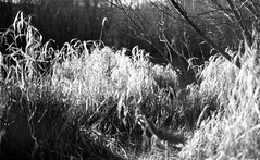 Winter Reeds (Richie Rue) Tags: watermargin reeds blackandwhite monochrome bnw bw film analogue 35mm foma fomapan400 fomadon excel mindfulphotography contemplativephotography outdoors nature winter nikonf90 fewston reservoir