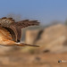 A Montagu Harrier in Full Flight