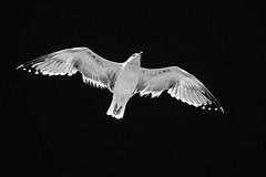 Goéland au Cap d'Agde (uluqui) Tags: bird seagull wildlife animal nature countryside wild outside light white fuji fujifilm xt20 xtrans blackandwhite bw noiretblanc gull