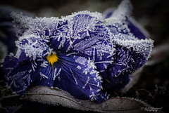 In Pain's grip (again) (Through_Urizen) Tags: category eskisehir flora focusstacked ikieylulcampus places turkey canon canon90d sigma105mmmacro macro closeup depthoffield plant flower flowers ice frost cold winter leaf bokeh macrodreams colourful garden flowerbed