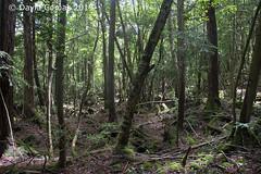 Fujikawaguchiko - Aokigahara (CATDvd) Tags: nikond7500 日本国 日本 stateofjapan nippon niponkoku nihonkoku nihon japón japó japan estatdeljapó estadodeljapón catdvd davidcomas httpwwwdavidcomasnet httpwwwflickrcomphotoscatdvd july2019 landscape paisaje paisatge bosc bosque forest cincllacsdelfuji cincolagosdelfuji fujifivelakes fujigoko fujikawaguchiko fujikawaguchikomachi 富士河口湖町 prefecturadeyamanashi yamanashiprefecture yamanashiken 山梨県 富士五湖 mardarbres aokigahara 青木ヶ原 樹海 jukai mardeárboles seaoftrees